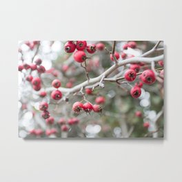 Crab Apples in the Early Winter Metal Print