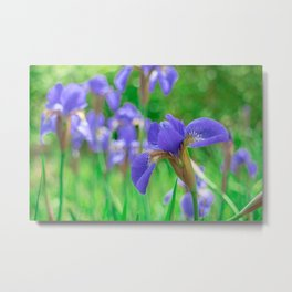 Group of purple irises in spring sunny day Metal Print