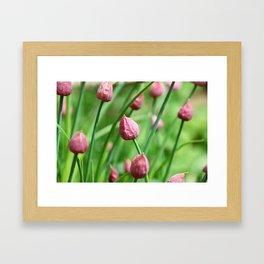 Chive flower buds Framed Art Print