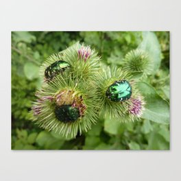 green bugs on thistle flower Canvas Print