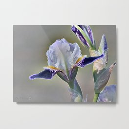 Miniature Tall Bearded Iris named Consummation Metal Print