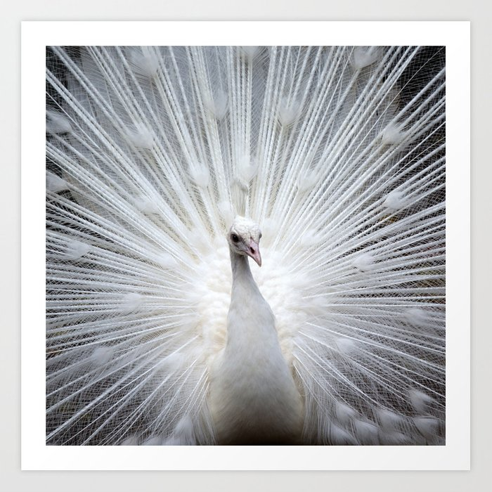 Peacock20160401 Art Print