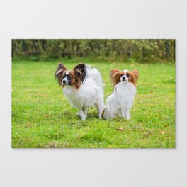 Outdoor portrait of a papillon purebreed dogs on the grass Canvas Print