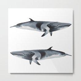 Minke Whales Metal Print