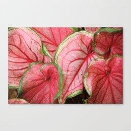 Caladium Canvas Print