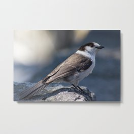 Curious Gray Jay Metal Print