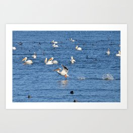 white pelican takeoff Art Print