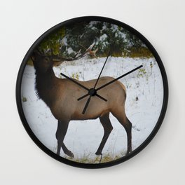Elk reaches up for the green leaves in an early September snowfall, Jasper National Park Wall Clock