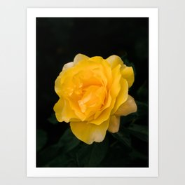 Happy Go Lucky yellow rose for flower enthusiast Art Print