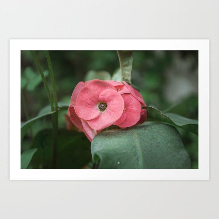 Corona de Cristo - Flower Photography Art Print
