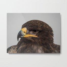 Harris Hawk Metal Print