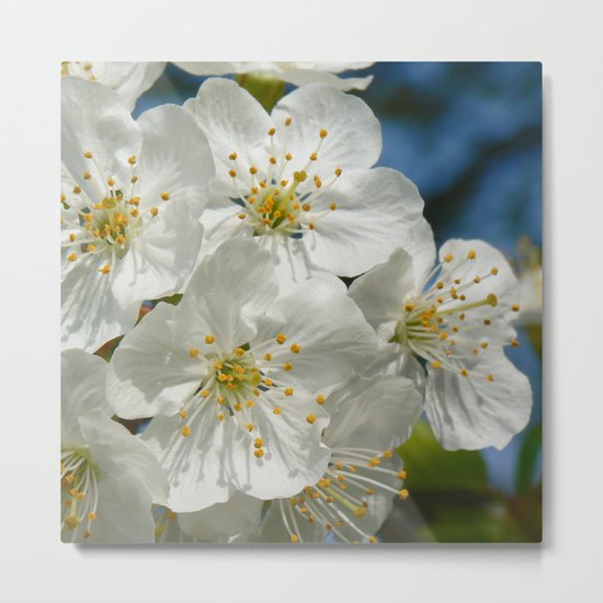 White Cherry Blossoms 01, Spring Metal Print