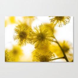 Acacia Flower IV Canvas Print