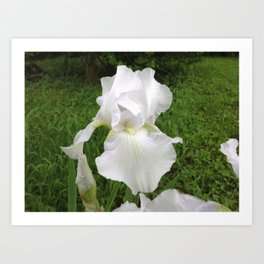 The Purity Of A Spring Time Iris Art Print