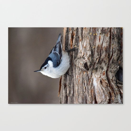 Upside Down Nuthatch Canvas Print