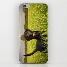 Labrador in the Spring Barley iPhone & iPod Skin