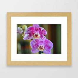 Purple orchid blooms Framed Art Print