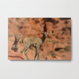 0888 - Twin Baby Desert Bighorn Sheep Metal Print