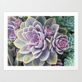 purple echeveria cluster Art Print