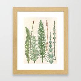 Botanical Horsetail Plants Framed Art Print