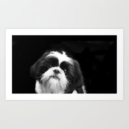 Shih Tzu Dog Art Print