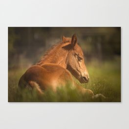 Cute Foal Laying Down Canvas Print