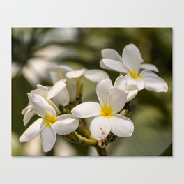 Plumeria, floral photography Canvas Print
