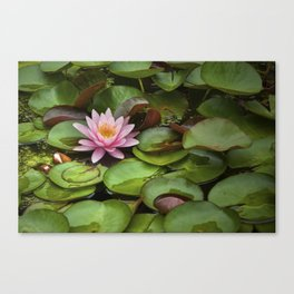 Pink Blossom on Lily Pads in a Michigan Pond Canvas Print
