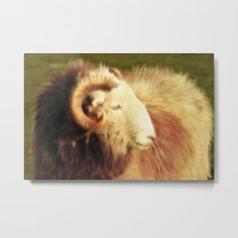 Sheep. Metal Print