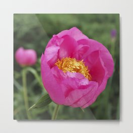 Peony Firelight - glowing pink petals Metal Print