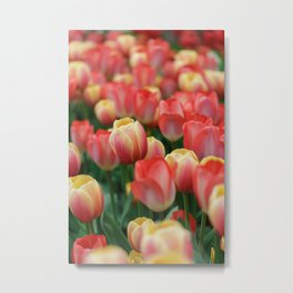 Colorful Yellow and Red Tulips in Spring Metal Print