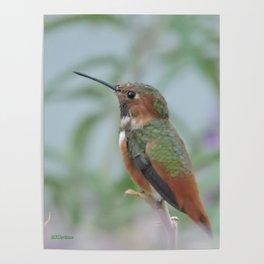Allen's Hummingbird Sentinel Poster
