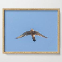 Common Kestrel (Falco tinnunculus). Common Kestrel in flight Serving Tray
