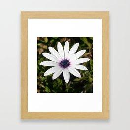 White African Daisy Framed Art Print
