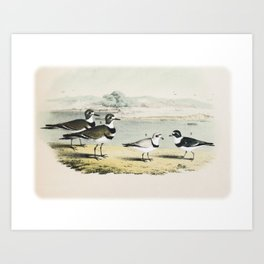 PLATE XL The Killdeer Plover The piping Ringed Plover The Semi-palmated, Ring, or Ring-neck Plover Art Print