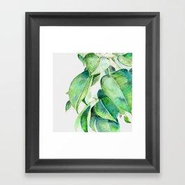 Ficus elastica watercolor hand painted art Framed Art Print