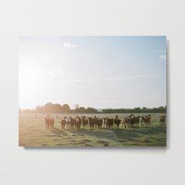 Curious Florida Cattle at Sunset - Florida Fine Art Film Photography Metal Print