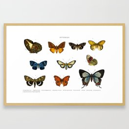 Different types of butterfly illustrated by Charles Dessalines D' Orbigny (1806-1876) Framed Art Print