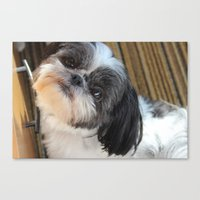 shih tzu Canvas Prints featuring Shih-tzu by Courtney Burns
