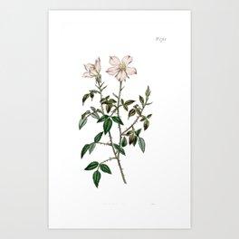 Miss Lawrence's Rose / W. Curtis 1857 Kunstdrucke