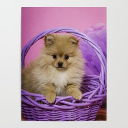 Tan Pomeranian Puppy Sitting in a Purple Basket with Purple Floral Decorations and a Pink Background Poster