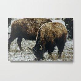Grazing Bison, Grand Teton National Park Metal Print