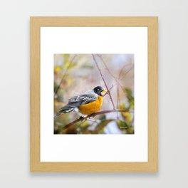 Spring Robin Framed Art Print