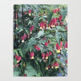 Red firecracker flower in Butchart's Garden Poster