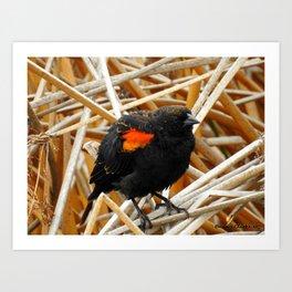 Juvenile Male Redwing Blackbird Art Print