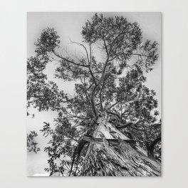 The old eucalyptus tree Canvas Print