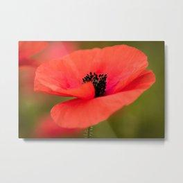 Poppy flower with morning dew. Metal Print