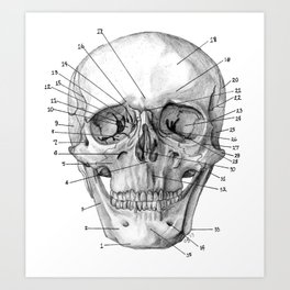 Anatomical Skull Art Print