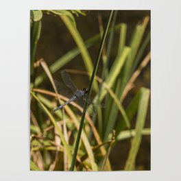 Dragonfly in the marsh Poster