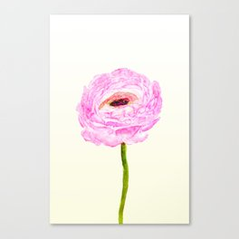 pink cultivited buttercup, Ranunculus Canvas Print